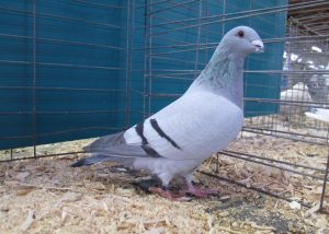 Grand Champion Pigeon - Racing Homer
