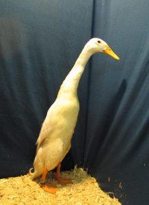 Reserve Champion Waterfowl - Light Runner Duck