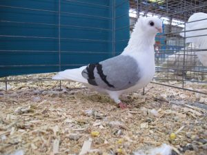 Reserve Grand Champion Pigeon - German Owl
